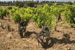 vignes-chateauneuf.jpg